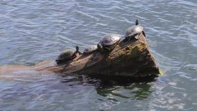 Turtle group sunning on a log. Turtles on log on the blue water of lake washington stock footage