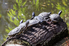 Turtles on a log Royalty Free Stock Photo