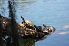 Turtles on log Royalty Free Stock Image