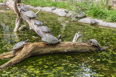 Turtles on a log in a pond Royalty Free Stock Photography