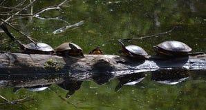 Turtles on log. Several turtles sunbathing on log in pond Royalty Free Stock Photo