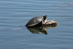 Turtles on Log Stock Image