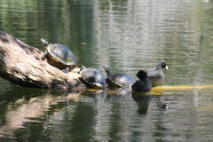 Turtles on log and a two duck Royalty Free Stock Photos