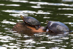 Turtles on a log. Two turtles sunning on a log Royalty Free Stock Photos