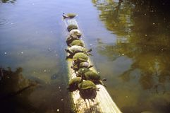 Turtles on Log in water Royalty Free Stock Photography