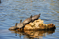 Turtles on log in water Royalty Free Stock Images