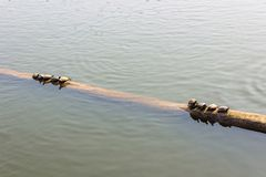 The turtles on the logs in the water royalty free stock image