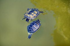 Turtles in Love in a Water. Couple of two turtles in love in the water stock image