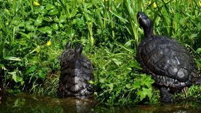 Turtles lying on the grass. Group of red-eared slider Trachemys scripta elegans. In pond stock footage