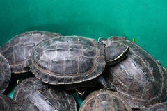 Turtles in the Market Royalty Free Stock Photography