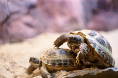 Turtles mating season stock images