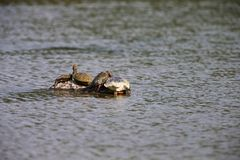 Turtles in the middle of the lake Royalty Free Stock Image