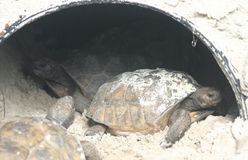 Gopher tortoises in pipe. Three Gopher tortoises make a pipe home as they burrow in the sand Royalty Free Stock Photography