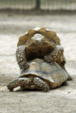 Turtles playing Leapfrog. Turtles play at leapfrog in the midday sun Stock Image