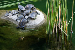 Turtles in a pond Stock Photography