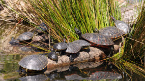 Turtles in a pond. A small community of eleven turtles are standing on tree branches in a pond. Their reflections are visible in the water Royalty Free Stock Photography