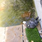 Turtles in the pond Royalty Free Stock Photo