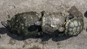 Turtles in a pond. Royalty Free Stock Image