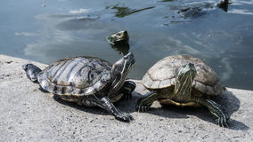 Turtles in a pond. Royalty Free Stock Photos