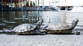 Turtles in a pond. Royalty Free Stock Photography