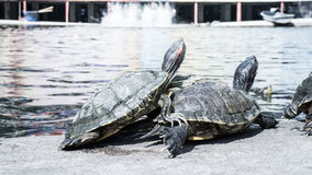 Turtles in a pond. Royalty Free Stock Images