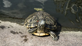 Turtles in a pond. Royalty Free Stock Photo
