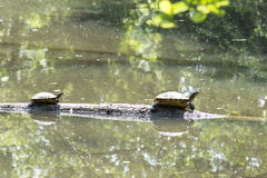 Turtles in the pond Stock Images
