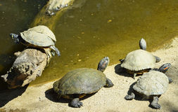 Turtles at the pond Royalty Free Stock Image