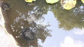 Turtles in the pond stock video footage