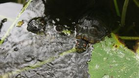 Turtles in the pond stock video