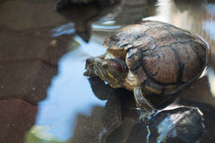 Turtles in pond Royalty Free Stock Photos