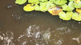 Turtles in the pond. Near leaves of water lilies stock video