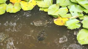 Turtles in the pond. Near leaves of water lilies