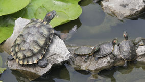 Turtles in a pond Stock Image