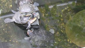Turtles in the pond. Relaxing on a rock stock footage