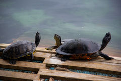 The turtles royalty free stock photography