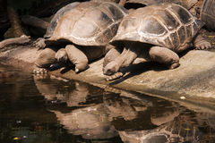 Turtles reflected in the water surface Stock Images