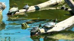 Turtles Reptile in Wild Life Nature. Animal stock video