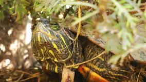Turtles Reptile in Wild Life Nature. Animal stock video footage