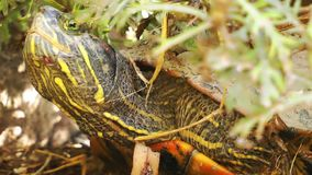 Turtles Reptile in Wild Life Nature. Animal stock footage