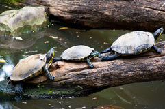 Turtles resting Stock Photography