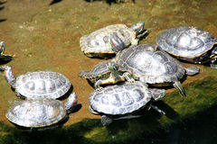 Turtles resting along a pond in California, USA Royalty Free Stock Photos