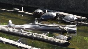 Turtles resting on logs in water. A view or scene from around town stock video footage