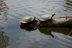 Turtles Resting near Pond in Boise, Idaho Stock Images