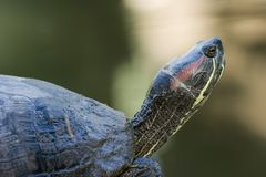 Turtles resting on a rock Royalty Free Stock Images