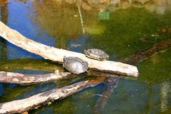 Turtles. Resting in the sun in the water reservoir royalty free stock photos