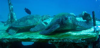 Turtles resting on sunken ship Stock Images
