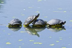Turtles are resting on a tree trunk in a pond stock photos