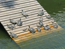 Turtles resting on wood panels Stock Photography