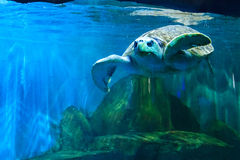 Turtles roam freely. Sea turtles in the zoo Stock Photo